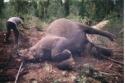 Gajah Hilang Kepala